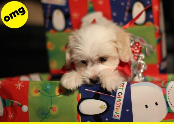 Fluffy puppy inside a Christmas present box.