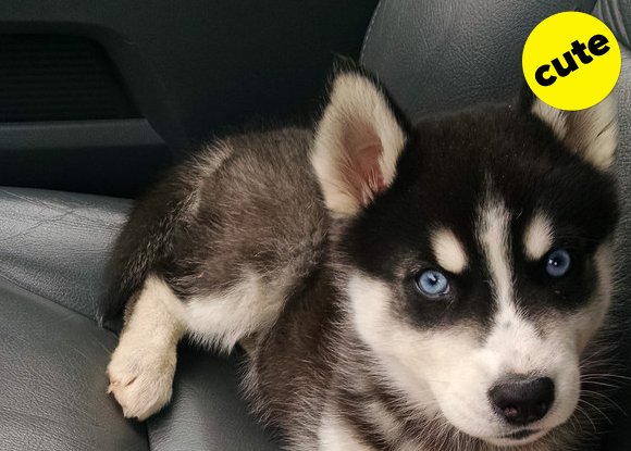 Husky puppy sitting in a car.